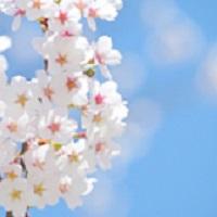 桜の「つぼみ」は、いつできる?